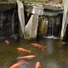 再び根津神社の池で楽しい鯉の写真を撮影しました(^^♪