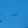 🦜野鳥の回【115】新春初鳥撮り!木津川で探鳥🆕69種類目カワアイサ・70種類目タヒバリ