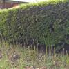 お彼岸に咲かないヒガンバナ
