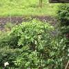 雨の重みで傾ぐ柑橘の若枝