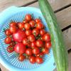 トマト収穫 報告