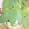 緑になったポインセチアの花を、12月までに赤く色づかせてみようと思います