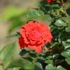 ツベルゲンフェー09も咲き始める!このバラは好き!大好き!(*^_^*) 手間いらずで元気いっぱい