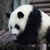 シャンシャン公開!パンダが熱い!