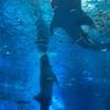 飛行機代0円!夏の格安沖縄旅行記④~激動の滞在2日目、美ら海水族館でジンベイザメのお食事タイムに遭遇~