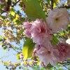 甥と八重桜