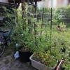 家庭菜園 収穫開始