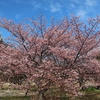 神戸)灘浜緑地公園、西郷川河口公園。河津桜見ごろ。メジロ、ムクドリ、シロハラ、ホシハジロ、カワウ。