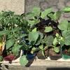 [家庭菜園2019]苗を買ってきて植えました