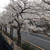 桜が散っています。