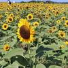 【Youtube更新】夏の終わりに向日葵をお楽しみくださいませ。