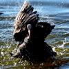 ダイナミックに水浴びする小春日和のオオバン