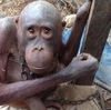 「世界で最も哀しいオランウータン」のニュースから見えてくる インドネシアのペット闇市と森林伐採