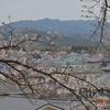 曇り空の下の桜も美しい