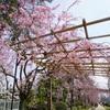 賀茂川をお散歩。桜がとっても綺麗でした!