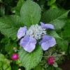 そろそろ紫陽花も終わりかな…肌寒い七夕