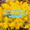 たにログ201 【セダム】グランドカバー系のセダムの全体図!●●万年草の一覧を知りたい