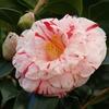 ツバキ(椿)の花