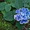 (前置き) 紫陽花の如く美しく咲け