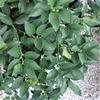 プチマルの花と実