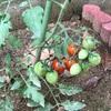 トマトを収穫しました〜〜
