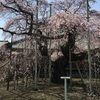 般若院の枝垂れ桜 満開です