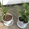 観葉植物の植え替え実施!