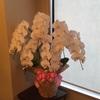 寝屋川市、枚方市へのお祝い花、胡蝶蘭、観葉植物はお任せ下さい