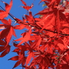 高尾山の紅葉を見に 紅葉はまあまあ、駅前の銀杏は今ひとつ