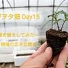 野菜のお引っ越し「植え替え」をして、根域チェック ~ベジヲタ畑 Day15~