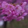 金沢の桜は満開「横浜緋桜」
