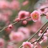 城南宮「しだれ梅と椿まつり」2回目