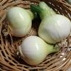 家庭菜園(4)新玉ねぎ