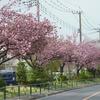 4月19日 八重桜満開