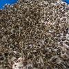 モザンビークのモリンガ種が紹介されていた!毎日2粒でデトックス効果!?