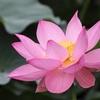 智積院の蓮、見頃や開花状況。