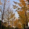 学びの森のイチョウ並木(岐阜県各務原市)