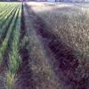 郊外枯野の草紅葉・二番穂=ひこばえ・野ヒエ=イヌヒエ