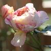 花は派手だが、意外と周囲に溶け込むバラです