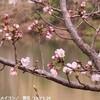 レアもん 白いカタクリの花