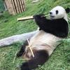 インドネシアでパンダをゆっくりと見て来ました。 Taman Safari。 本当に素敵な所、ジャカルタお勧め観光スポットです!