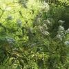 フジバカマは芳香剤  秋の七草
