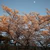 夜桜ライトアップ 撮影会