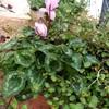 ガーデンシクラメンが咲きました(#^_^#)