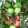 大玉トマト初収穫