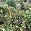 自宅のキュウリ/ミニトマト/空芯菜を整理しました