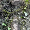 今年もソハヤキトンボソウが咲いていました。
