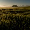 夏暁 - Wheat Field at summer daybreak