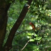 アカショウビン~火の鳥