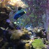美ら海水族館、チンアナゴ